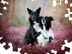 Border collie, Wrzos, Psy